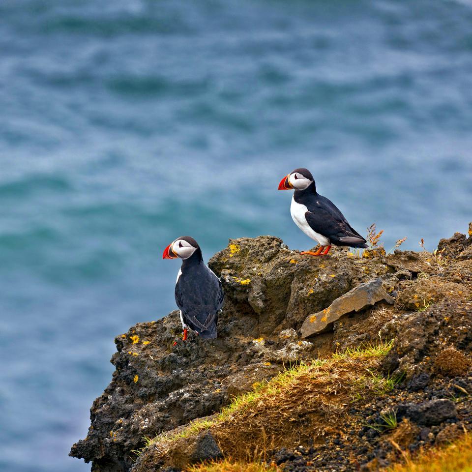 冰島可愛的大西洋海雀