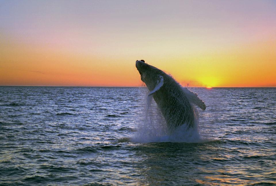 Whale show near Husavik City in Iceland
