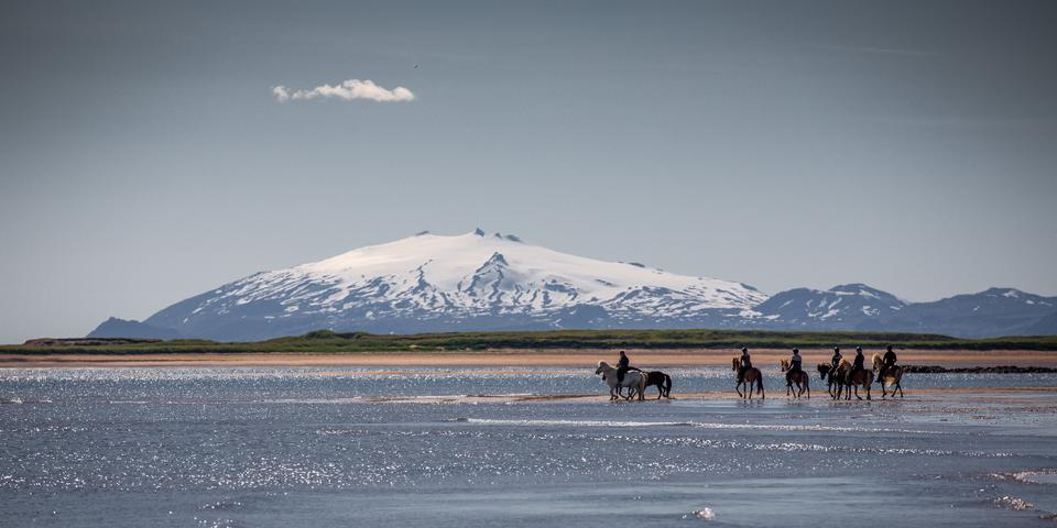danish horses on a field in the summer iceland