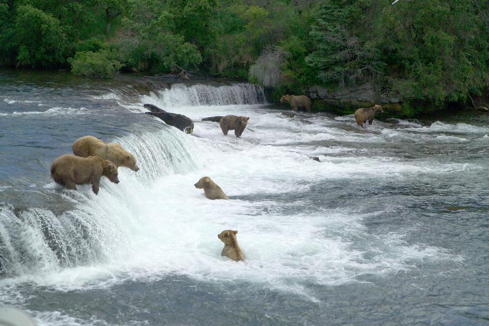Brown bears gathering to feast on sockeye salmon