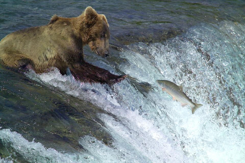 棕熊钓鲑鱼