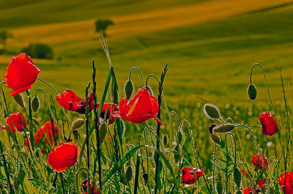新鲜的红色小狗草甸,天然泉水景观