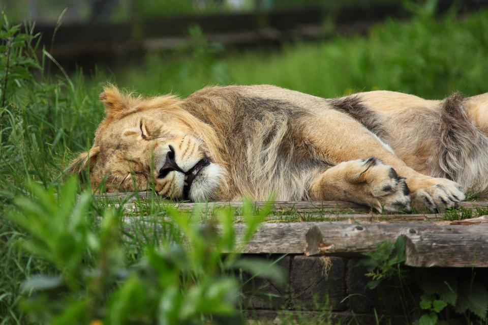 Sleeping lion in Chester Zoo