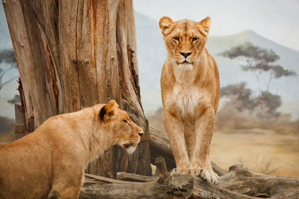 Two lions standing, one of them is on the log