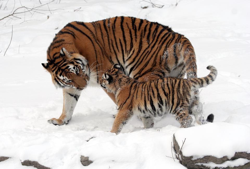 Closeup of a Siberian Tiger on snow