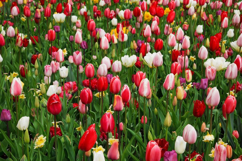 七彩郁金香花的背景图片