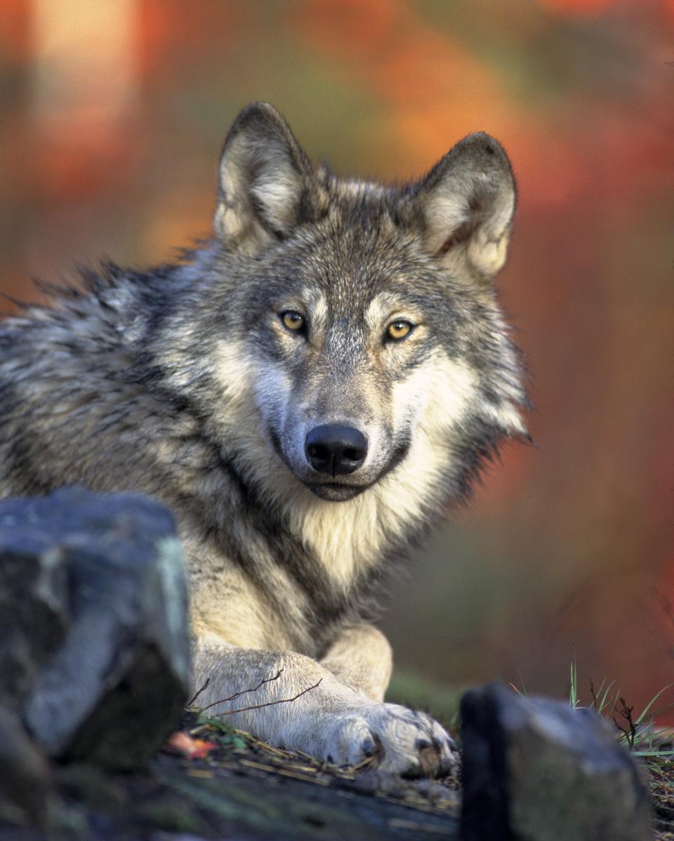 Grey Wolf Canis lupus Next to Birch Tree