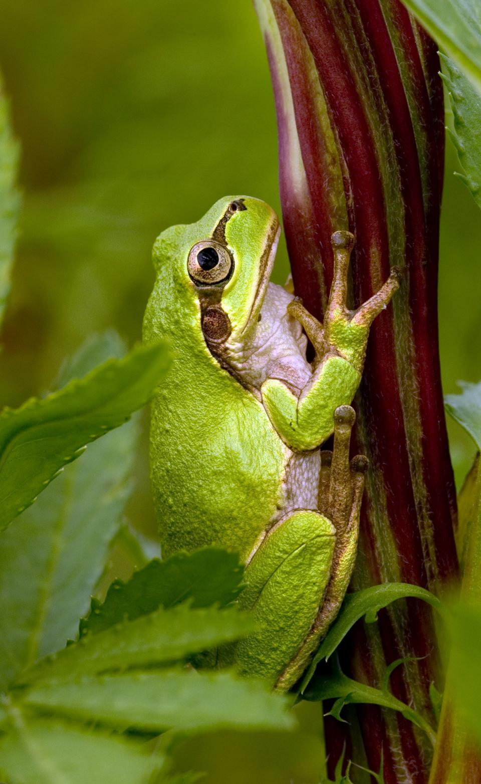 tree frog hiding in green background leafs Agalychnis