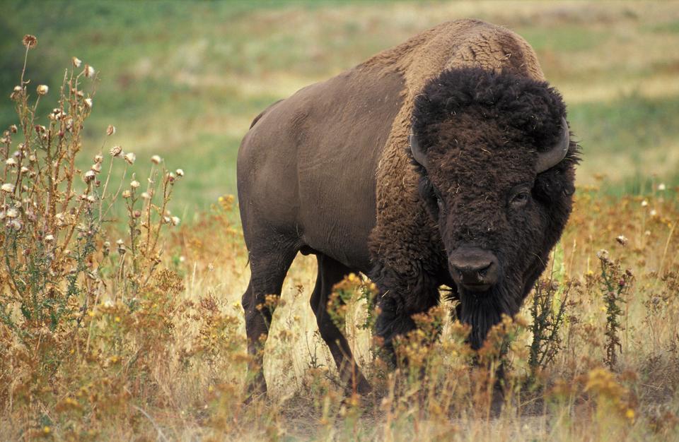 American Buffalo Bull scansione della zona.