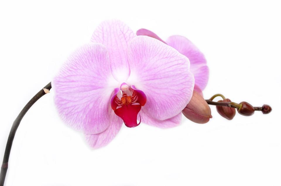 Flor de la orquídea aislada Decoración