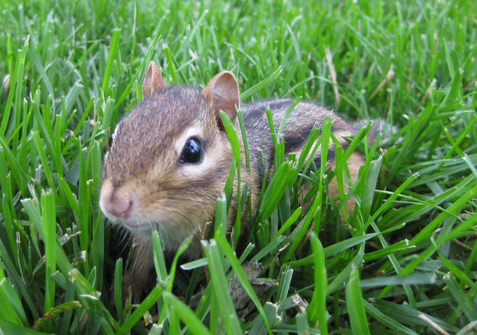 花栗鼠在草