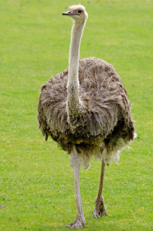 Emu caminando por un campo de hierba verde
