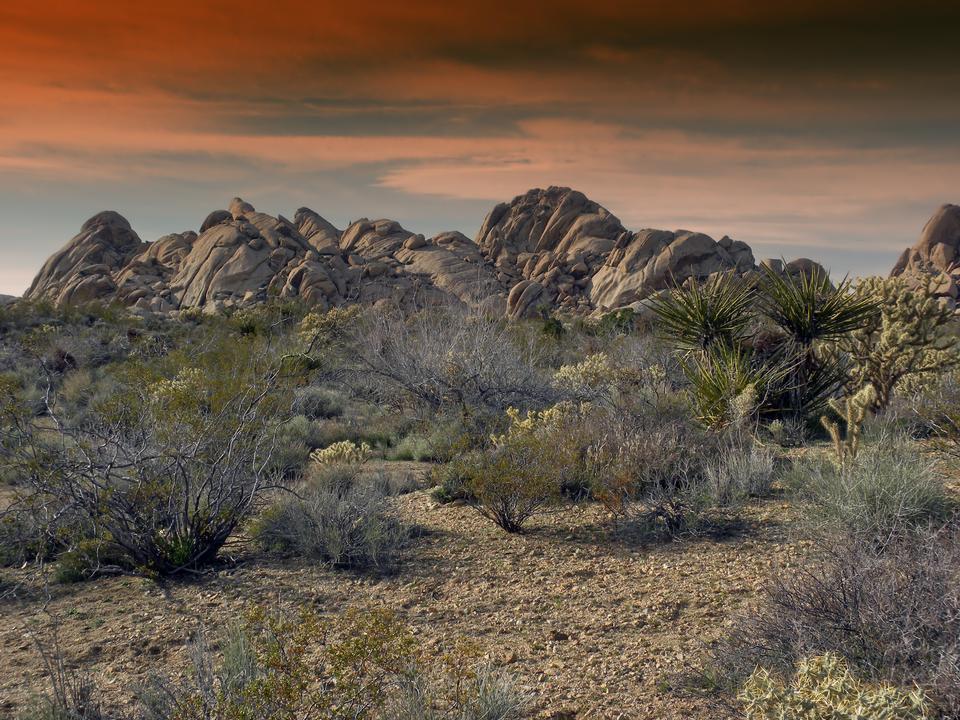 砂漠のジョシュアツリー