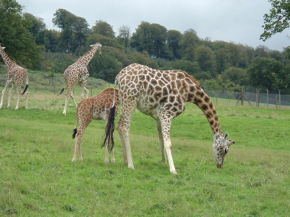 Mutter und Baby Giraffe in freier Wildbahn