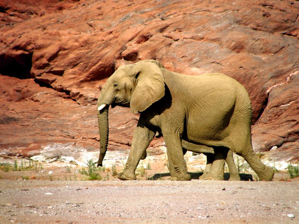 Pair of elephants walking along a rocky canyon in Namibia