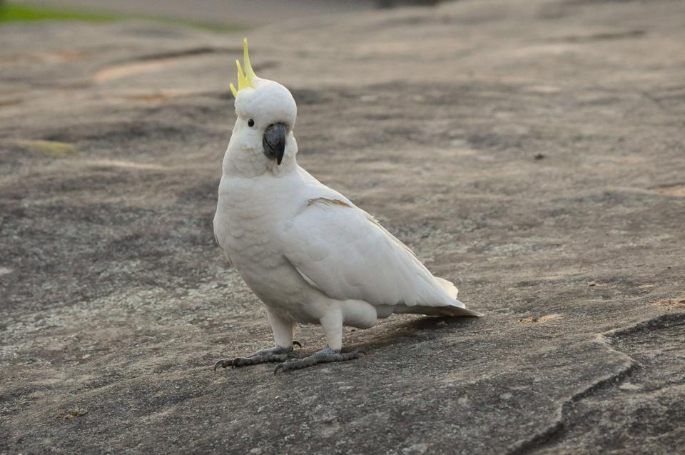 Umbrella Crested Cockatoo Perched on a Rock