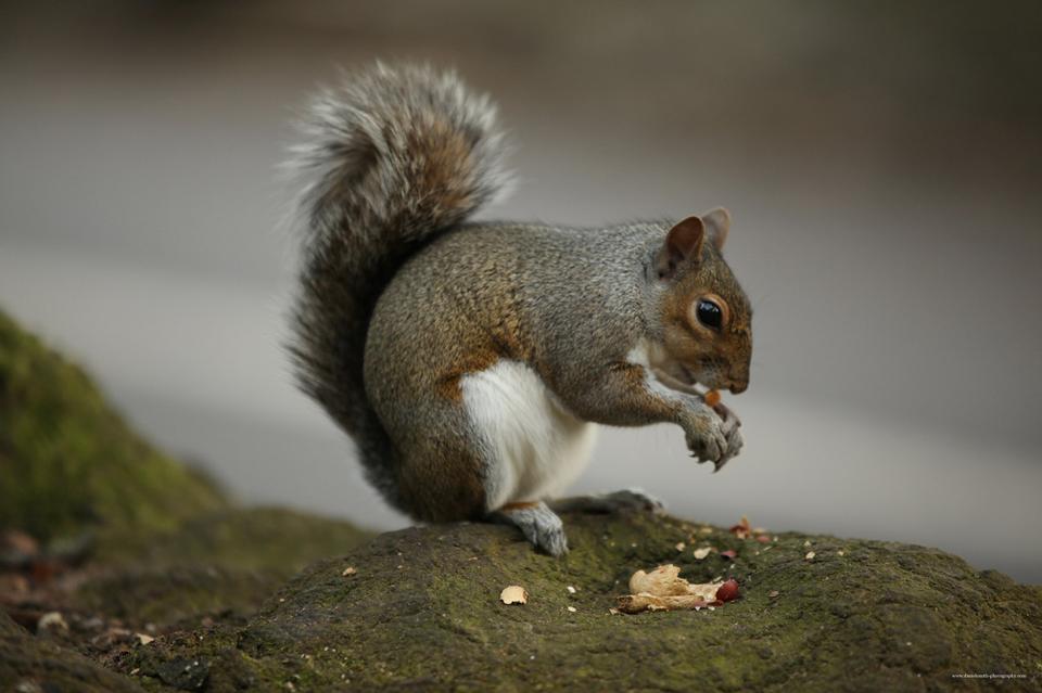 scoiattolo mangiare un dado
