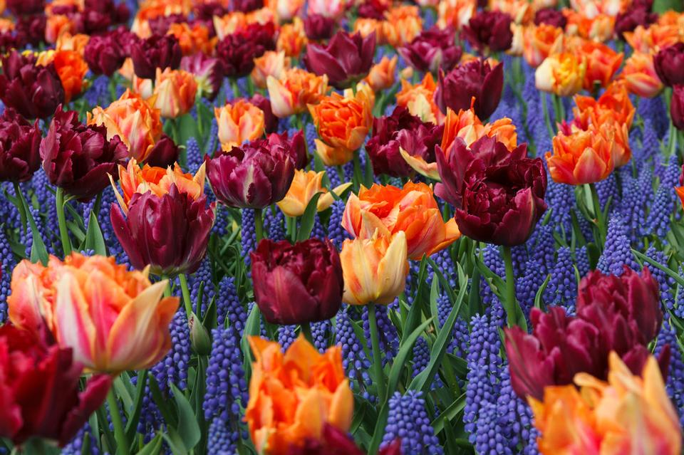 Orange et Purple Tulips