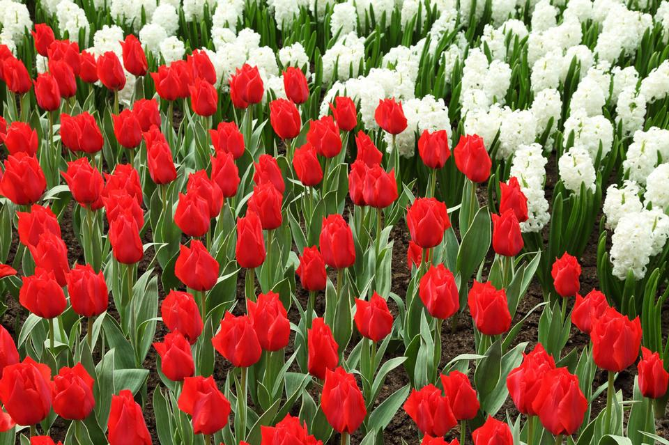 红色的郁金香和风信子白