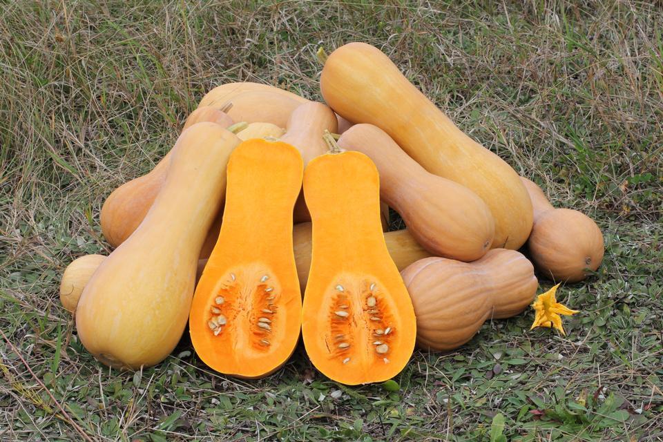 品种品种南瓜,成熟的水果