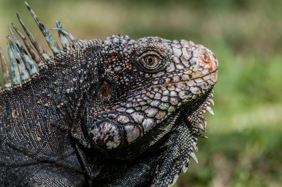 iguana head from Venezuela