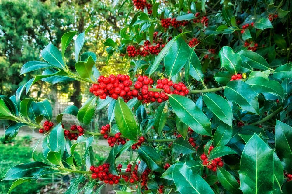 Europeon Holly Plants Blooms Flowers