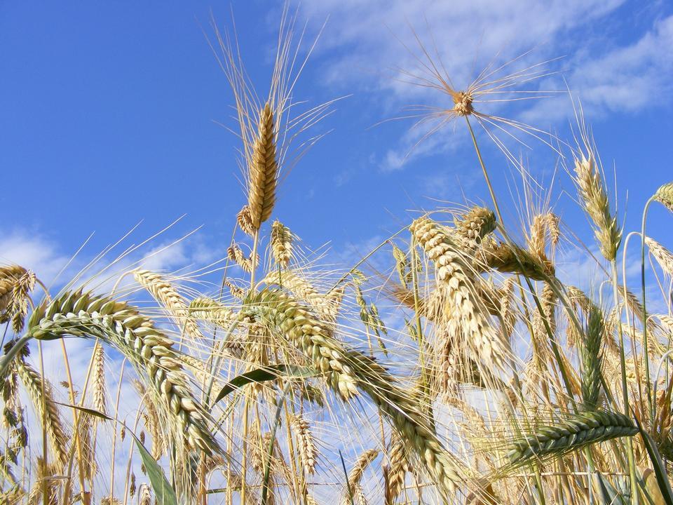 农业谷物面包