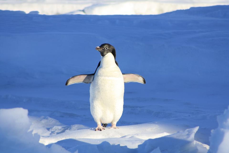 Пингвин Адели в Антарктиде