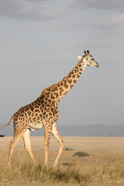Giraffe auf wilde Südafrika
