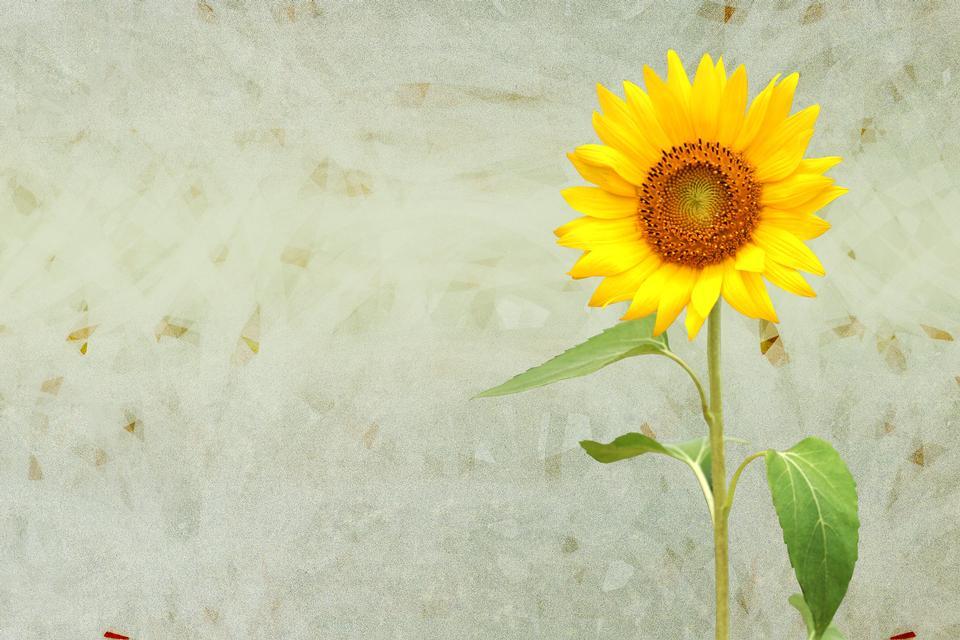 Sunflower, autumn still life