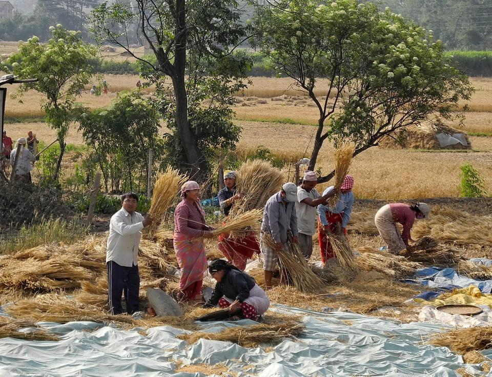 People Gathering Wheat Agriculture
