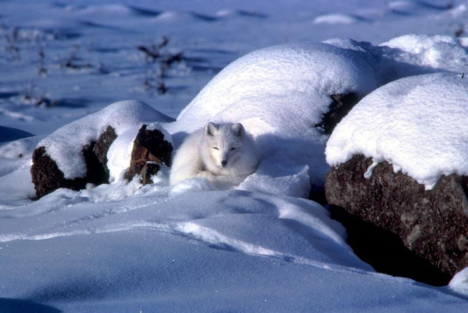 一个寒冷的前瞻性北极狐坐在高压脊