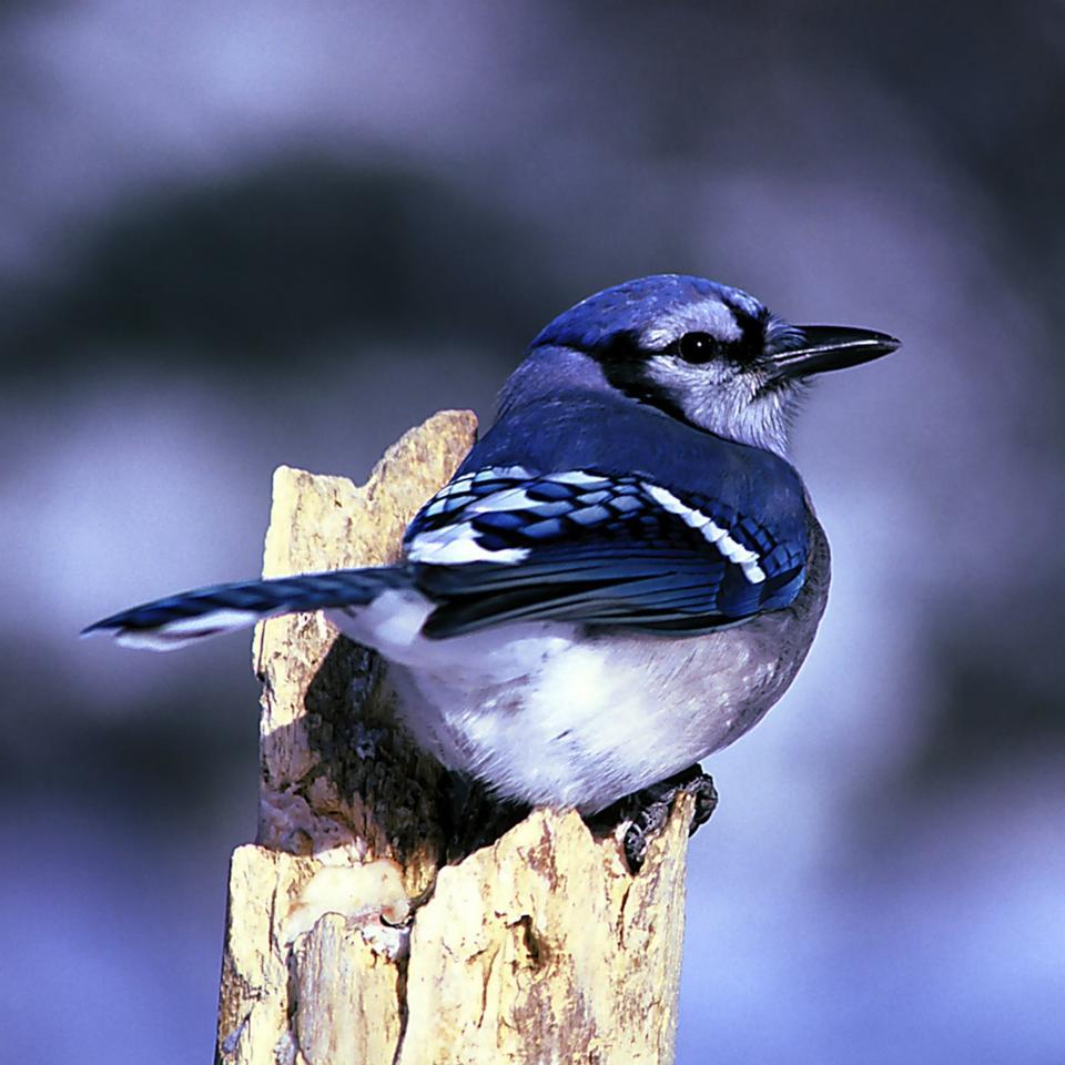 Jay azul con la alimentación de aves en la valla