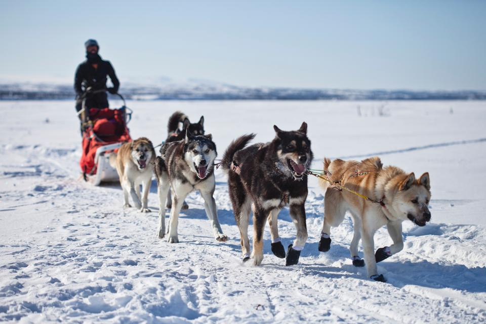 Arriving Husky Sledge
