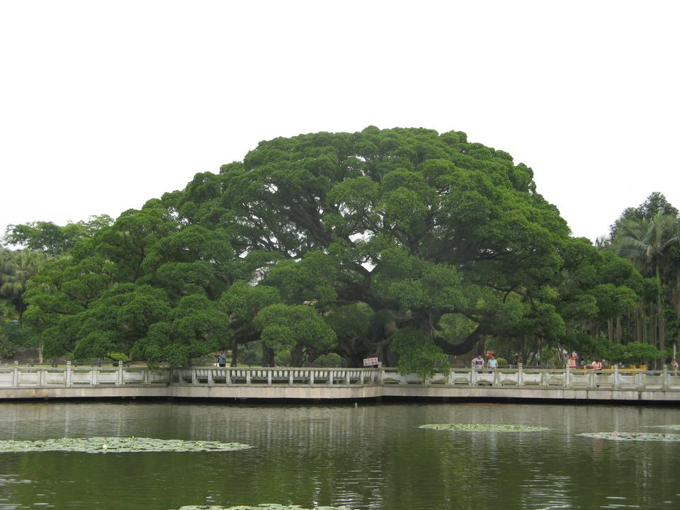 Banyan King, in the National Forest Park of Fuzhou, China
