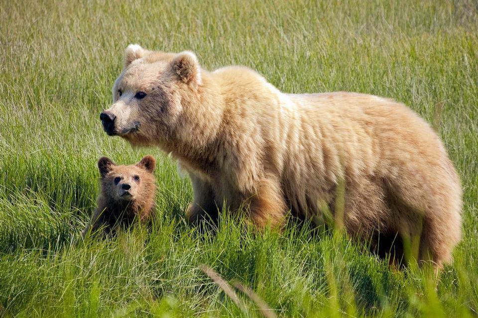 Braunbär Female mit Jungem im Silver Salmon Creek