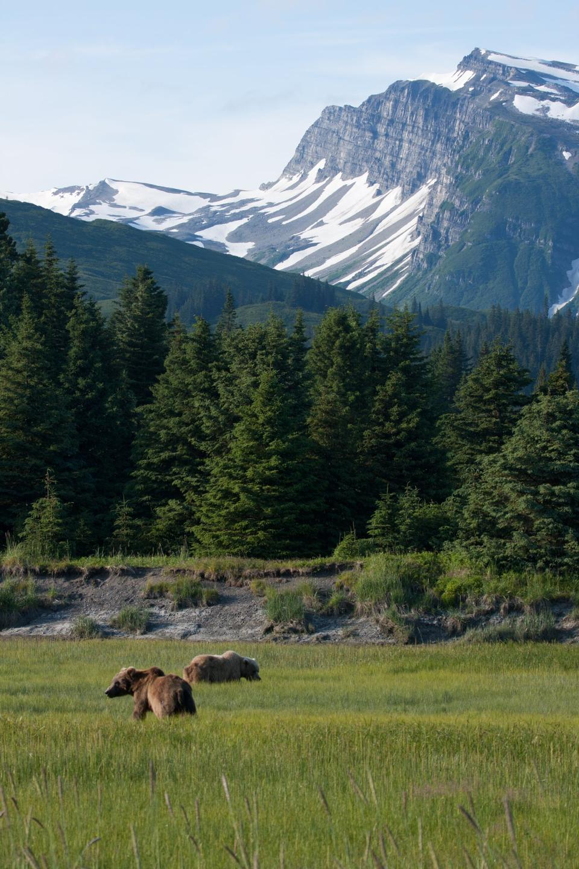 Chinitna Bay Braunbären