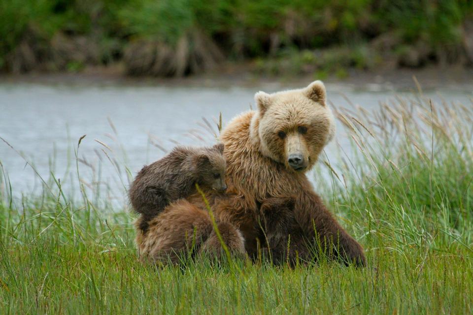 Coastal Brown Bear Puerca y Tríos