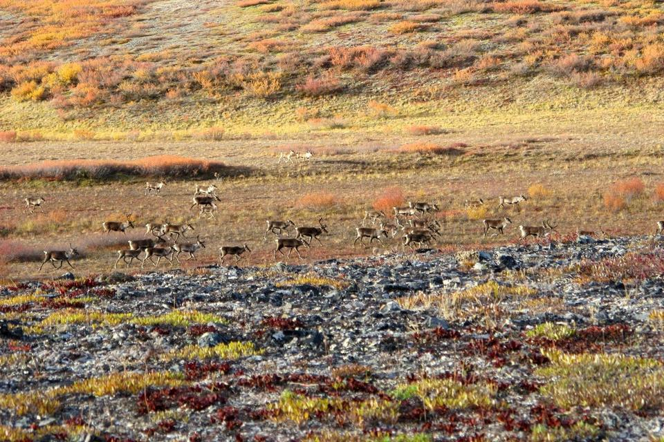 Caribou walk across the tundra