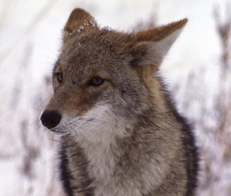 face of coyote