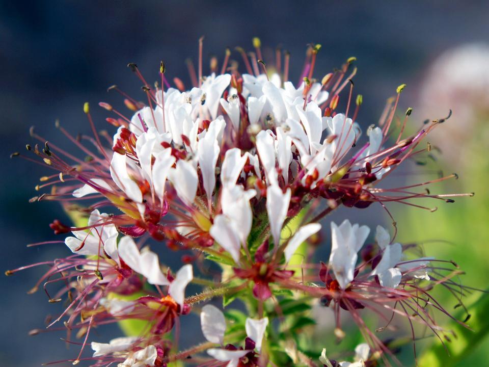 Clammyweed野花