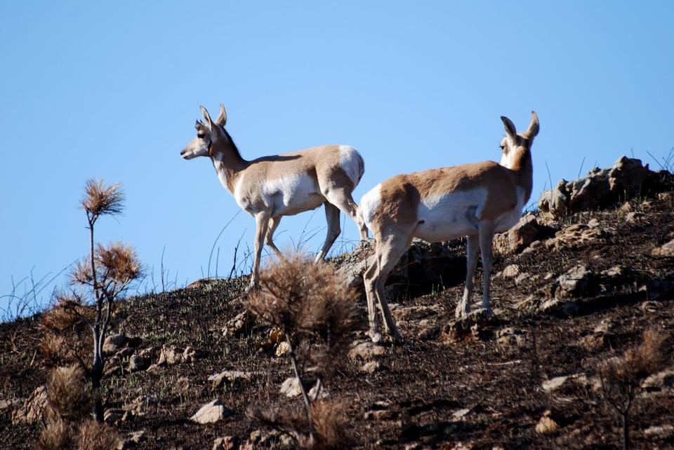 Montana Pronghorn Antilopen-Dollar