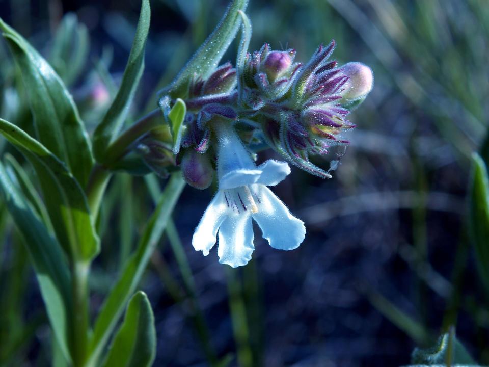 白彭斯特蒙野花