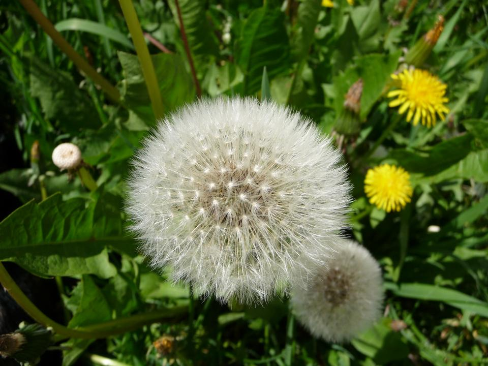 A mature dandelion that has gone to seed.