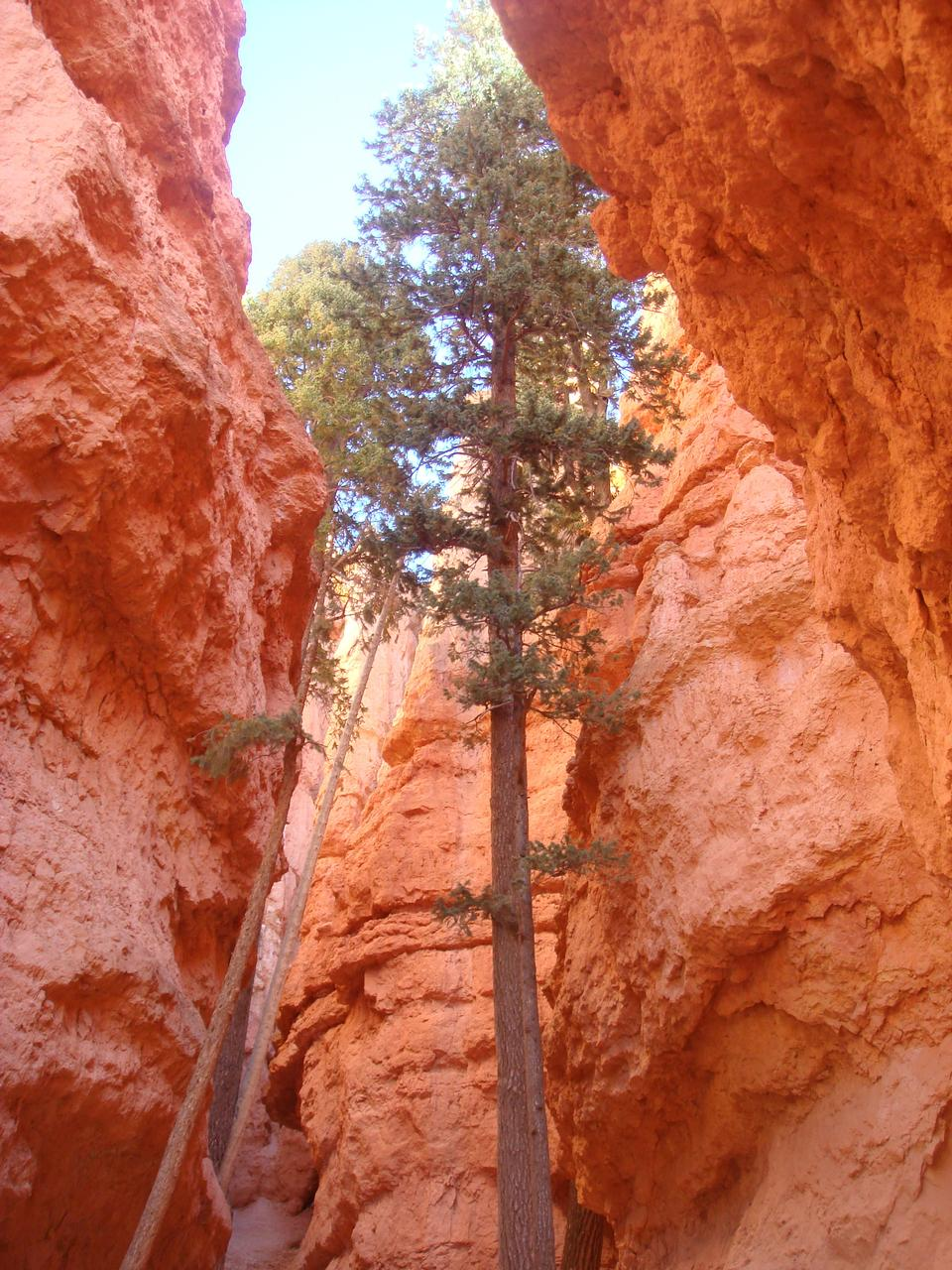 Pine Trees at Bryce Canyon National Park, Utah