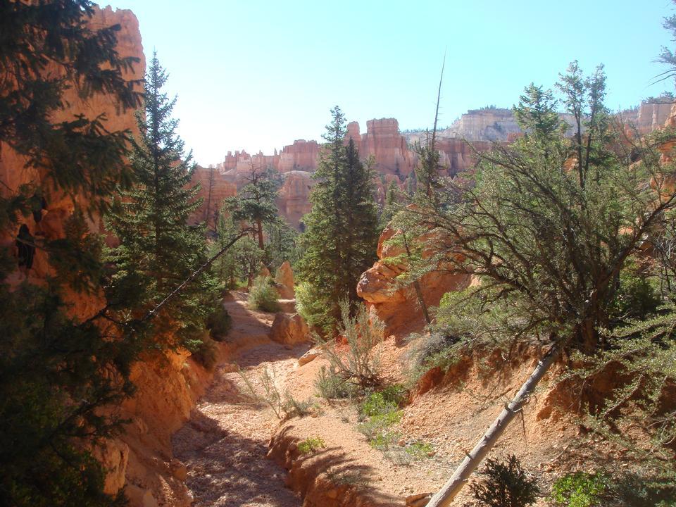 Pine Trees at Bryce Canyon National Park, Utah