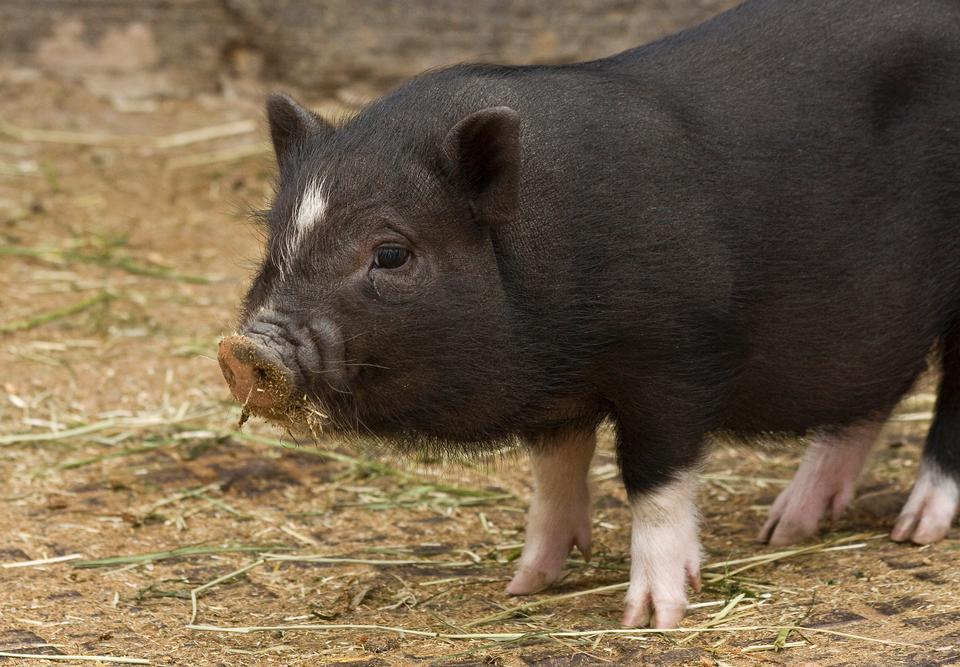 在前面的草地视图小型猪