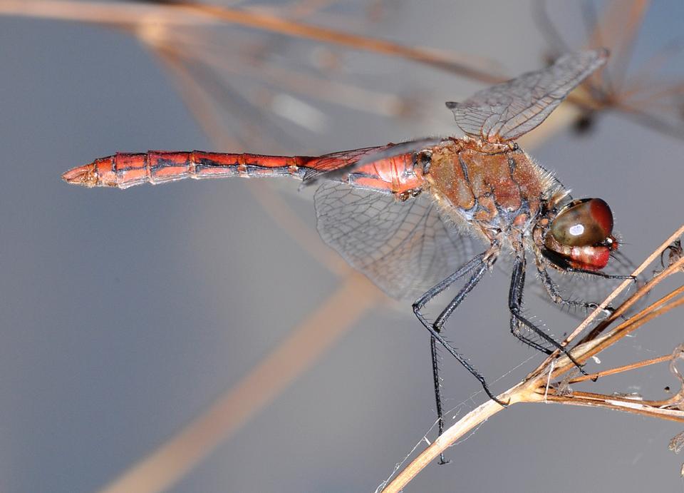 Dragonfly Leucorrhinia pectoralis on the plant