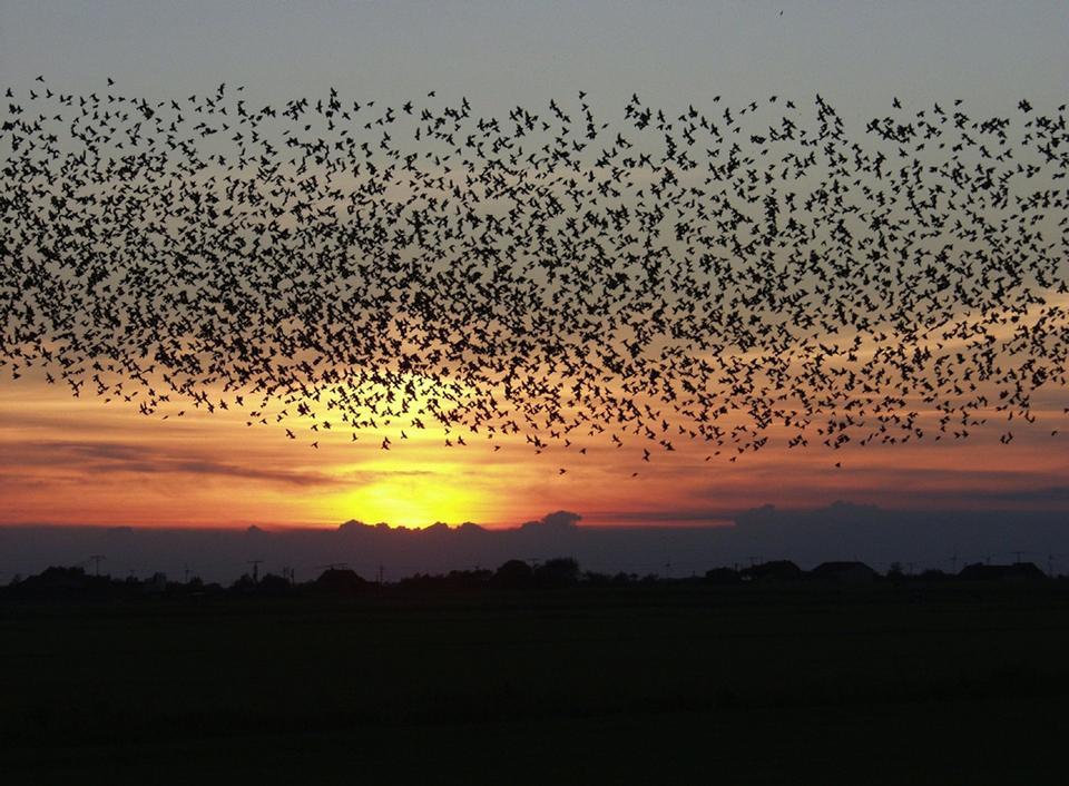 flock of birds at sunset