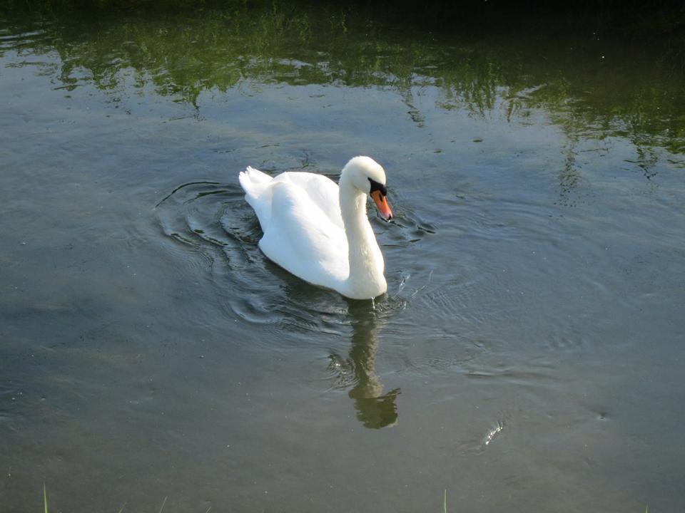 Swan Schwimmen im See